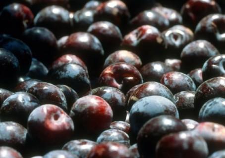 queen-garnet-plum-crop-harvest-superfood1